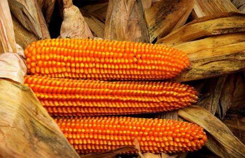 sponcio corn