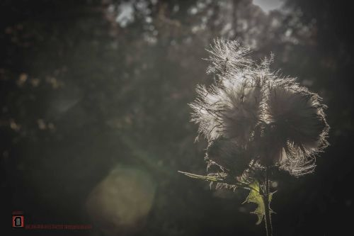 the thistle and seeds